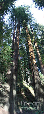 California Redwood Poster