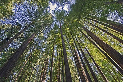 California Redwood Forest Poster
