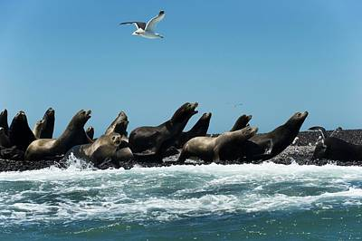 California Sea Lions Poster by Christopher Swann