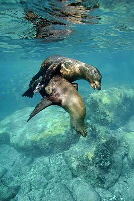 California Sea Lions In Shallow Water Poster