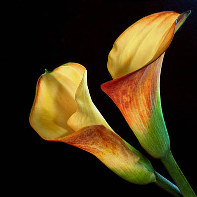Calla Lilies By The Pair Poster by David and Carol Kelly