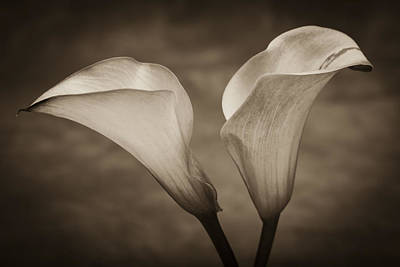 Calla Lilies In Sepia Poster by Sebastian Musial