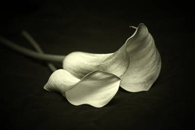 Calla Lillies Poster by Linda Fowler