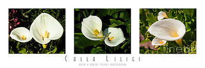 Calla Lilly Color Triptych Poster