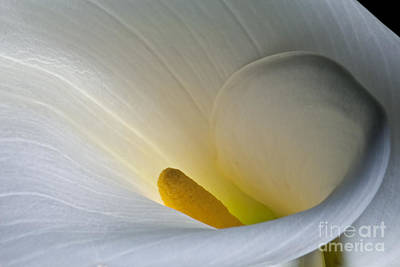 Poster featuring the photograph Calla Lily 2013 by Art Barker
