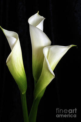 Calla Lily Flower Trio  Poster by Linda Matlow