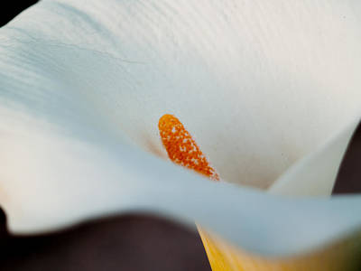Calla Lily II Poster by Bill Gallagher