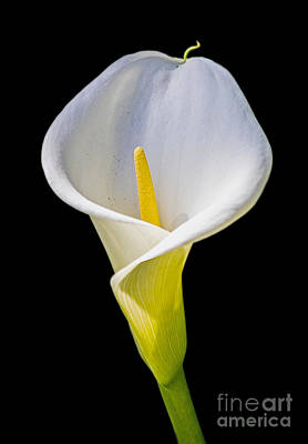 Poster featuring the photograph Calla Lily by Kate Brown