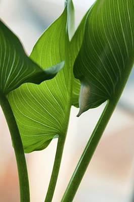 Calla Lily Leaves (zantedeschia Sp.) Poster