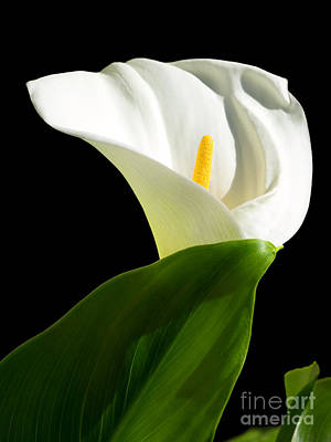 Calla Lily Poster by Sinisa Botas