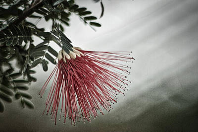 Calliandra Californica Poster by Stuart Litoff
