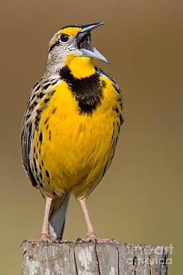 Calling Eastern Meadowlark Poster by Jerry Fornarotto