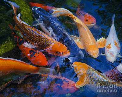 Poster featuring the photograph Calm Koi Fish by Jerry Cowart