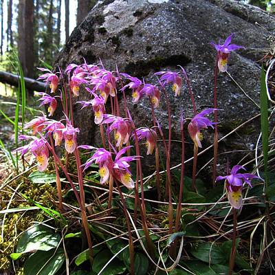 Calypso Orchids Poster