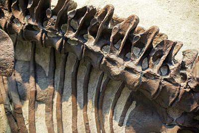 Camarasaurus Dinosaur Fossil Poster