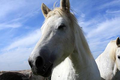 Camargue Horse Portrait Poster by Aidan Moran