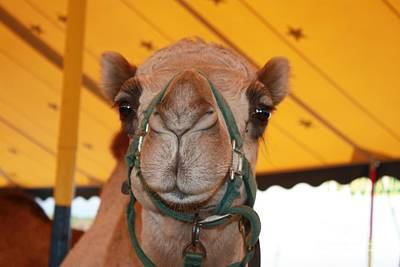 Camel Headshot Poster by John Telfer