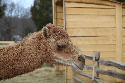 Camel - Mt Vernon - 01132 Poster