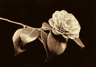 Camellia Flower In Sepia Poster by Jennie Marie Schell