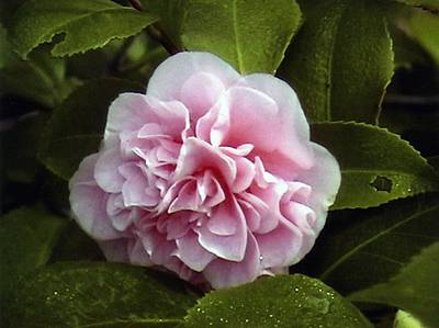 Poster featuring the photograph Camellia In Rain by Patrick Morgan