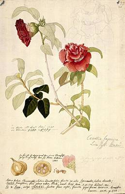 Camellia Japonica, 18th Century Artwork Poster by Science Photo Library
