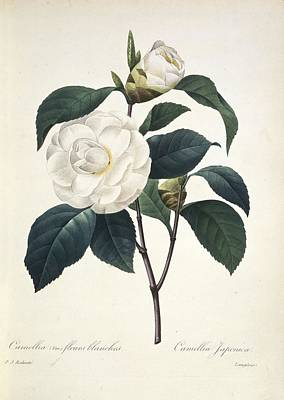 Camellia Japonica, 19th Century Poster by Science Photo Library