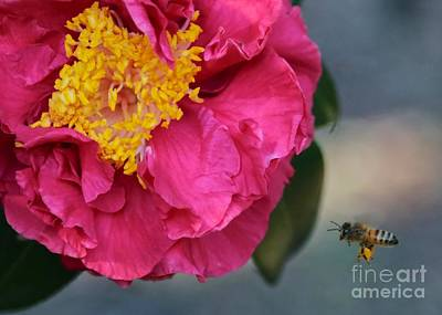 Camellia With Bee Poster by Carol Groenen
