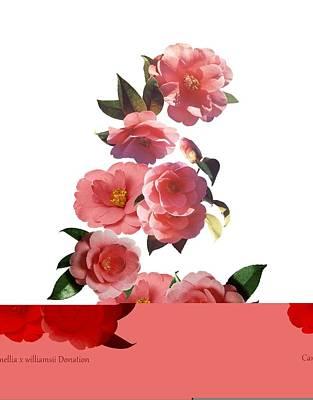 Camellia X Williamsii 'donation' Poster