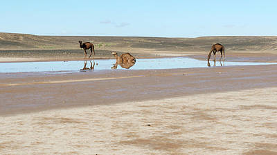 Camels And Drying Saharan Lake Poster by Thierry Berrod, Mona Lisa Production