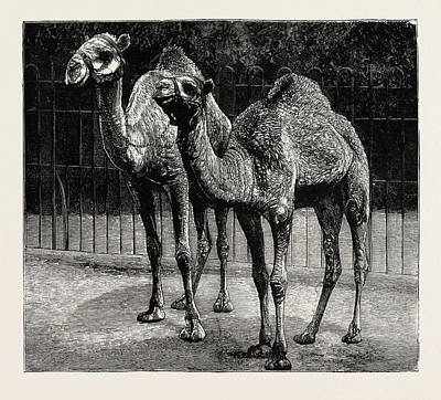 Camels From El-teb, Soudan Sudan Poster by African School