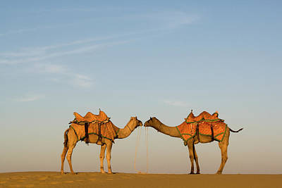 Camels Stand Face To Face In The Thar Poster