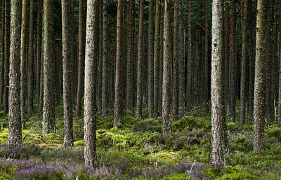 Poster featuring the photograph Camore Wood Scotland by Sally Ross