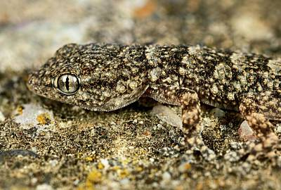 Camouflaged Gecko Poster by Frank Fox