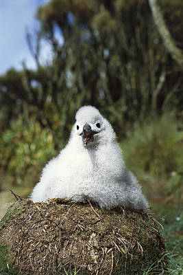 Campbell Albatross Chick On Nest Poster