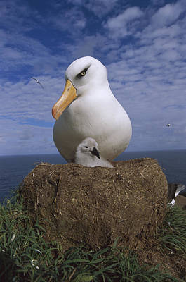 Campbell Albatross Guarding Chick Poster