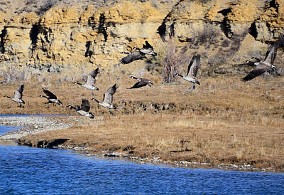 Canada Geese Along The Green River Poster