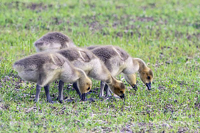 Canada Geese Goslings Poster by Sharon Talson