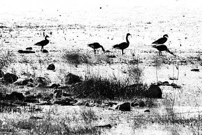 Canada Geese In Black And White Poster by Betty LaRue