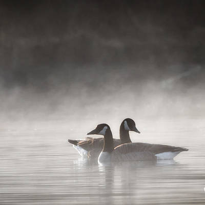 Canada Geese In The Fog Square Poster by Bill Wakeley