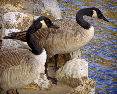 Poster featuring the photograph Canada Geese by Joseph Skompski