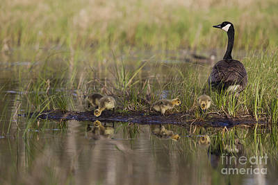 Canada Goose And Goslings Poster by Linda Freshwaters Arndt