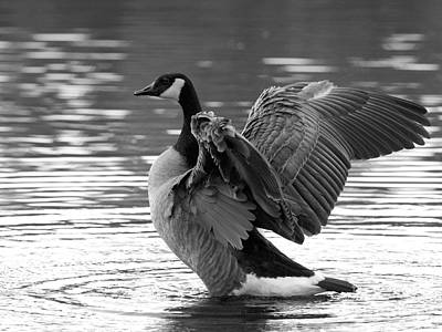 Canada Goose Black And White Poster