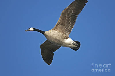 Canada Goose Flyby Poster by Sharon Talson