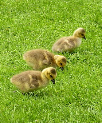 Canada Goose Goslings Poster