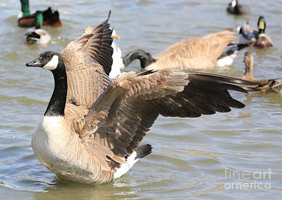 Canada Goose In Pond Poster