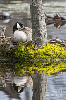 Canada Goose On Nest Poster by Michael Cummings