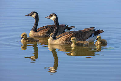 Canada Goose With Chicks Poster by Tom Norring