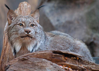 Poster featuring the photograph Canada Lynx by Bianca Nadeau