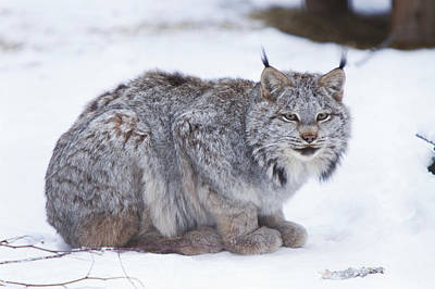 Canada Lynx Crouched On The Snowcovered Poster