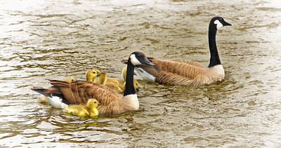 Canadian Geese And Goslings Bright Waters Poster